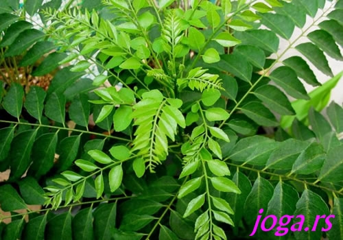 751-7b-curry-leaves-jogif